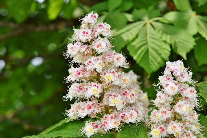 chestnut-blossom-3376321_1280
